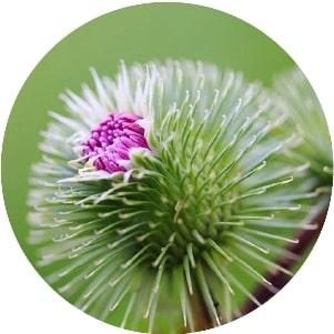 Mộc hương – Điều hòa nhu động đường tiêu hóa